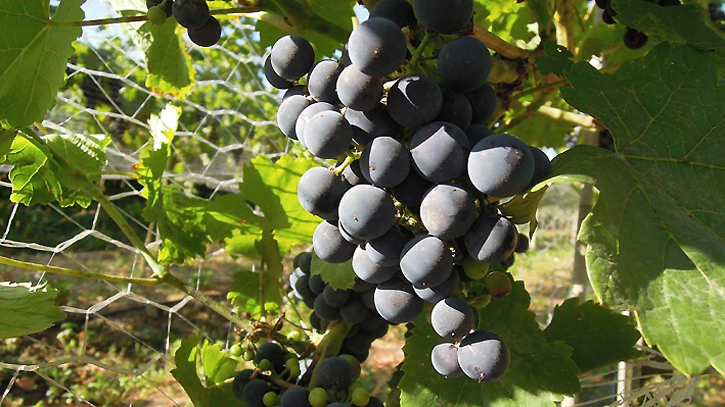 Winogrona odmiany Zweigelt