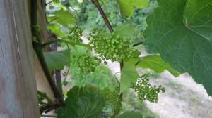 Zweigelt - początek kwitnienia