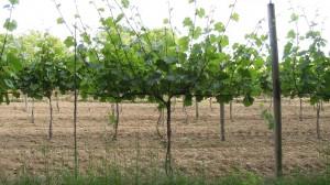 Zweigelt -rozwój pąków na wiosnę