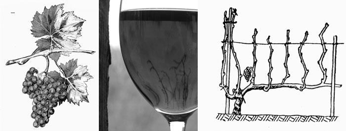 Krzew winorośli, kolejne lata przycinania, książka Stanisława Madeja 1955r