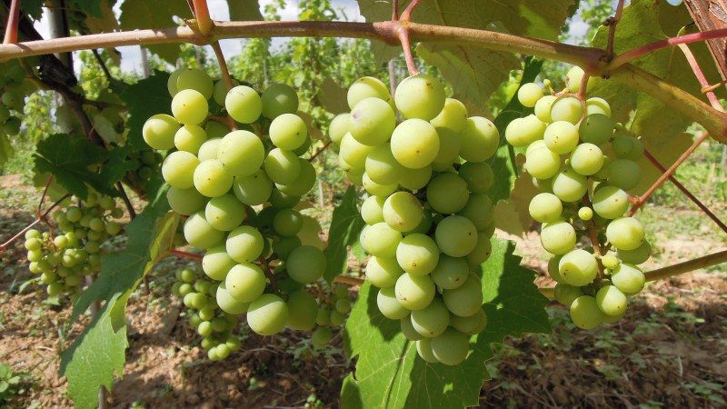 Winica Las Stocki w lipcu 2016 - odmiana Seyval Blanc