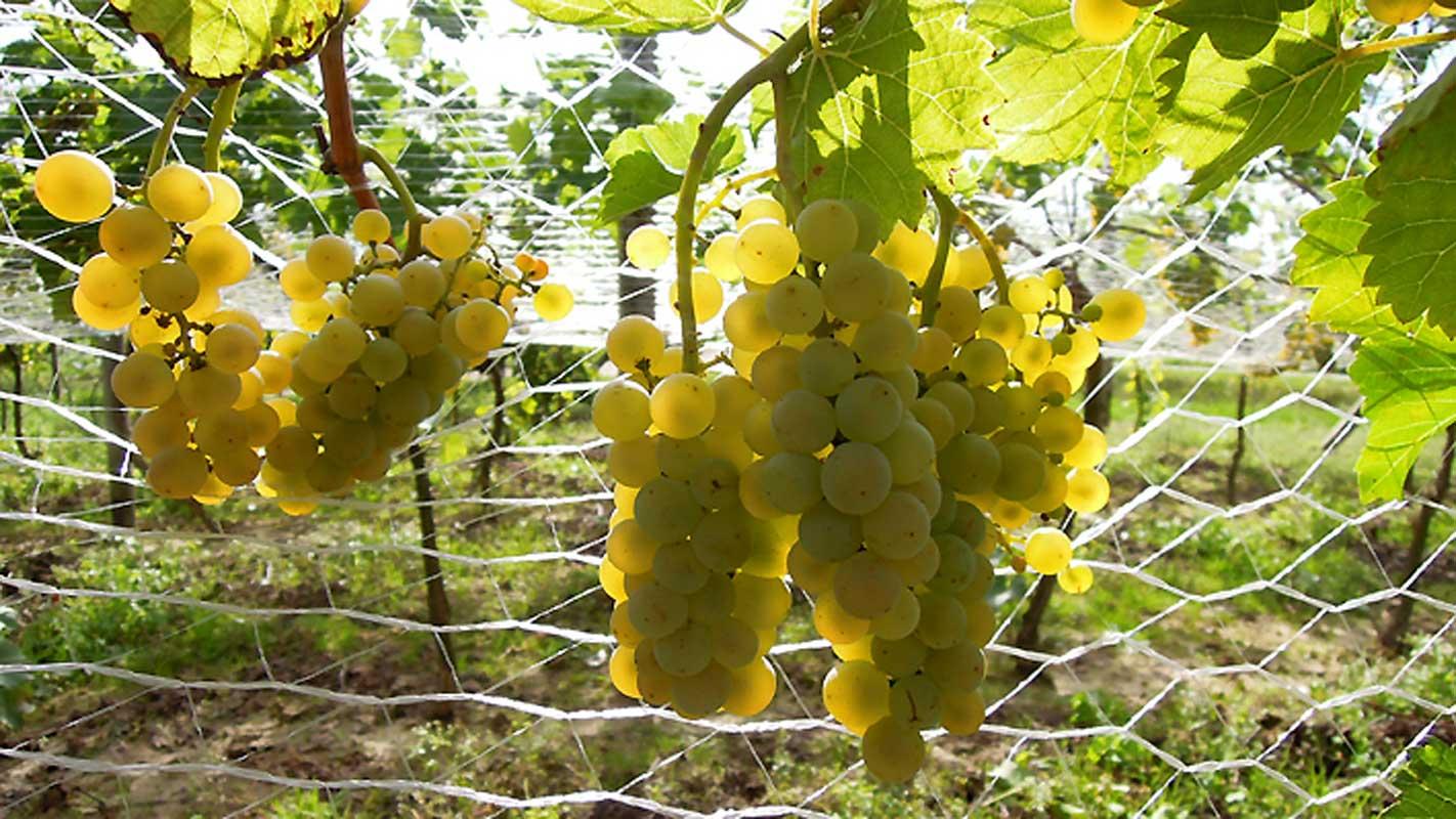 Dojrzewający w słońcu Seyval Blanc